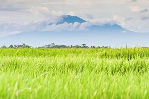 rice-fields-canggu-bali
